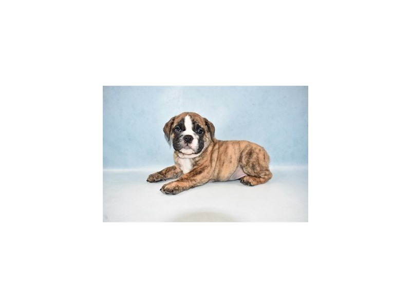 English Bulldog-Female-Red Brindle and White-2619412-Petland Jacksonville Florida