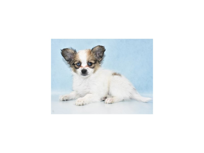 Papillon-Male-White and Sable-2625928-Petland Jacksonville Florida
