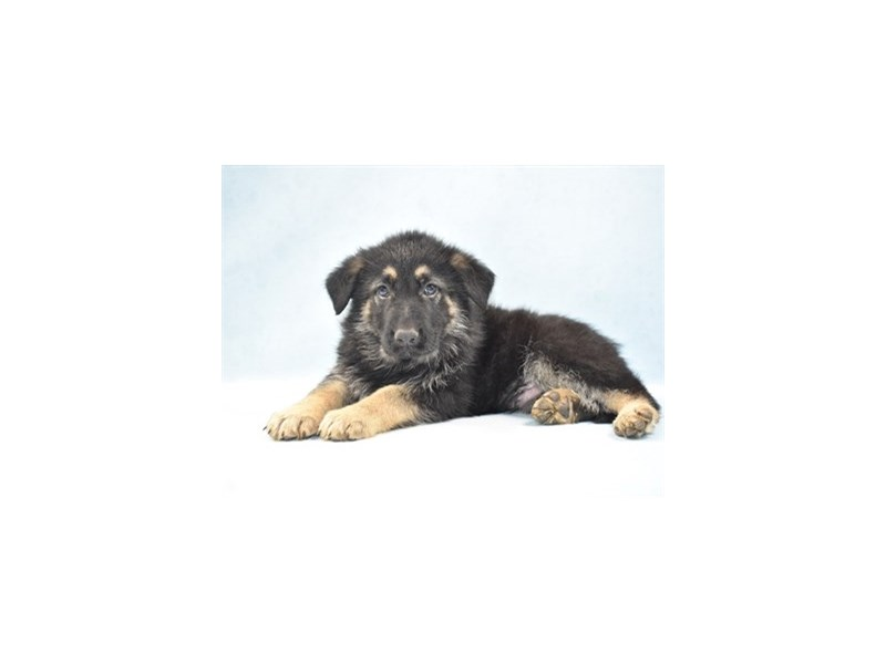 German Shepherd-Male-Black and Tan-2648873-Petland Jacksonville Florida