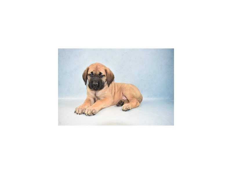 English Mastiff-Female-Apricot-2648968-Petland Jacksonville Florida