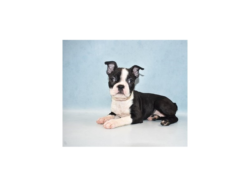 Boston Terrier-Female-Black and White-2649058-Petland Jacksonville Florida
