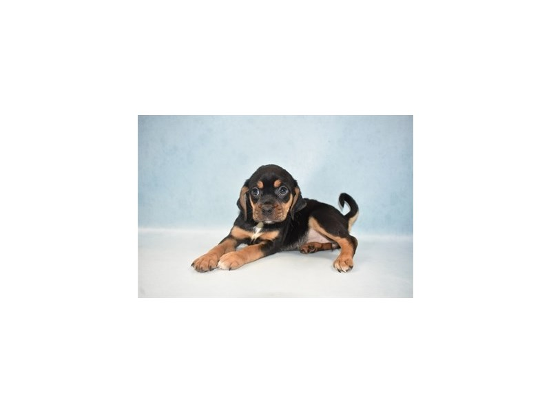 Puggle-Female-Black and Tan-2655556-Petland Jacksonville Florida