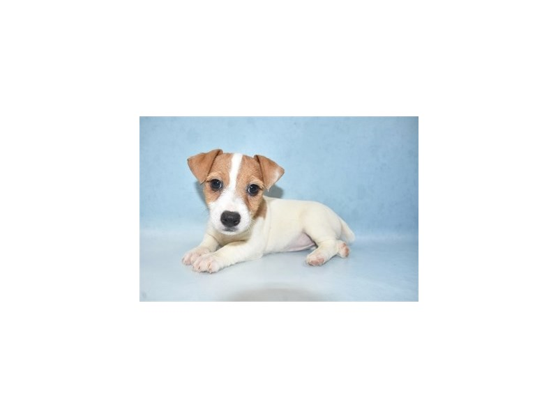 Jack Russell Terrier-Female-White and Brown-2641324-Petland Jacksonville Florida