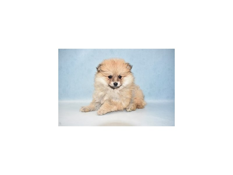Pomeranian-Female-Orange Sable-2648995-Petland Jacksonville Florida