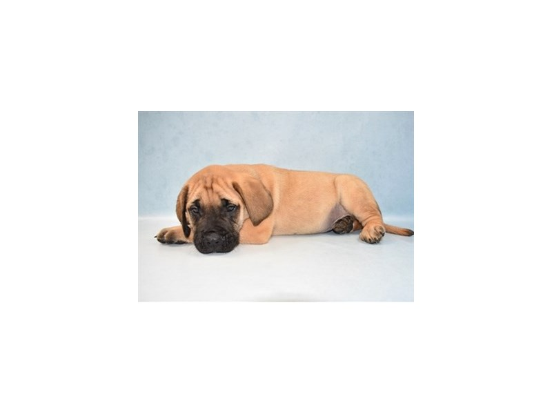 English Mastiff-Male-Fawn-2673872-Petland Jacksonville Florida