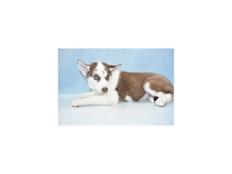 Siberian Husky-Male-Red and White-2673884-Petland Jacksonville Florida