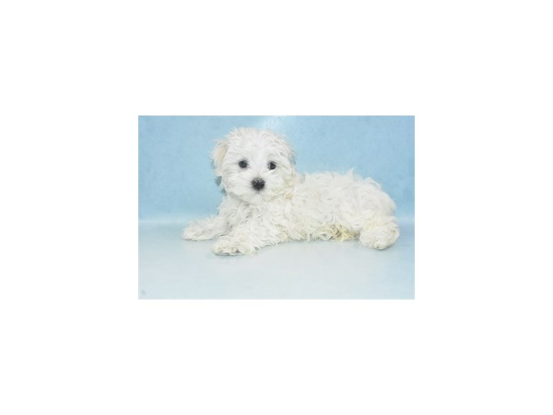 Maltese-Female-White-2680610-Petland Jacksonville Florida