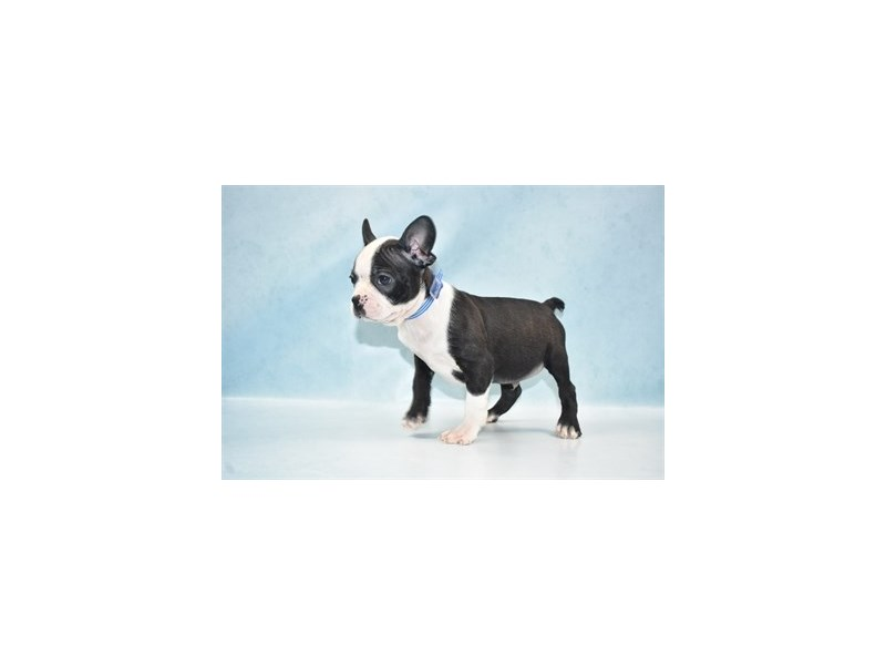 Boston Terrier-Male-Black and White-2680638-Petland Jacksonville Florida
