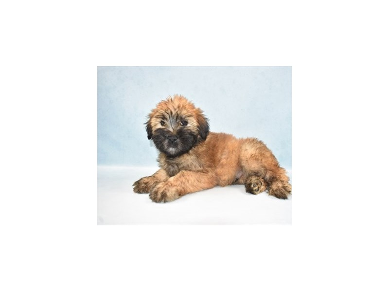 Soft Coated Wheaten Terrier-Male-Wheaten-2688369-Petland Jacksonville Florida