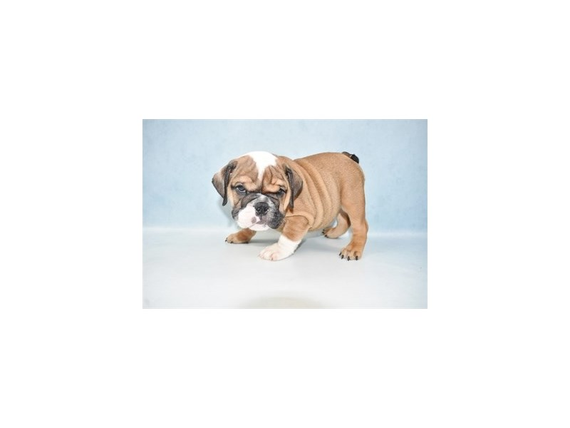 English Bulldog-Female-Red and White-2655430-Petland Jacksonville Florida