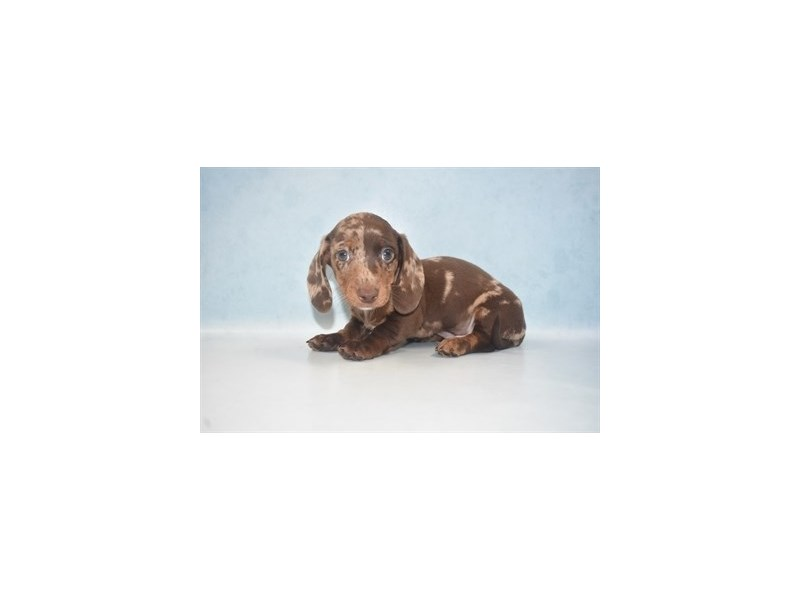 Dachshund-Male-Chocolate Dapple-2680465-Petland Jacksonville Florida