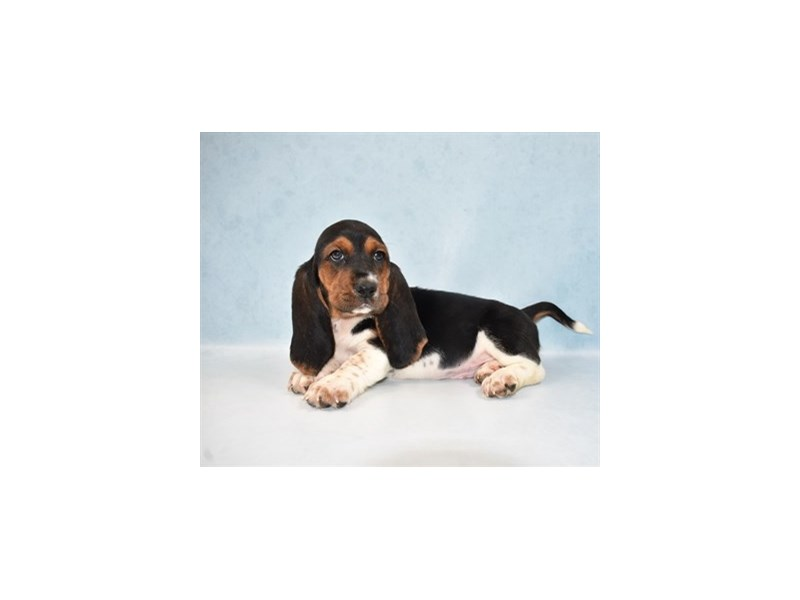 Basset Hound-Female-Black White and Tan-2687004-Petland Jacksonville Florida