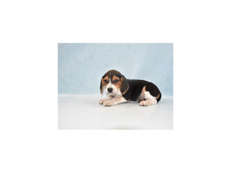 Beagle-Female-Black Tan and White-2688328-Petland Jacksonville Florida