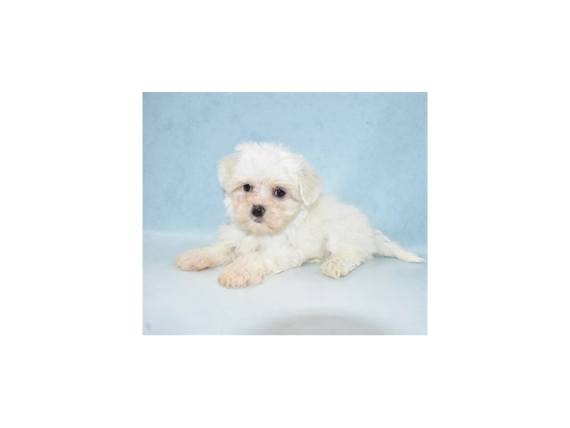 Maltese-Female-White-2694294-Petland Jacksonville Florida