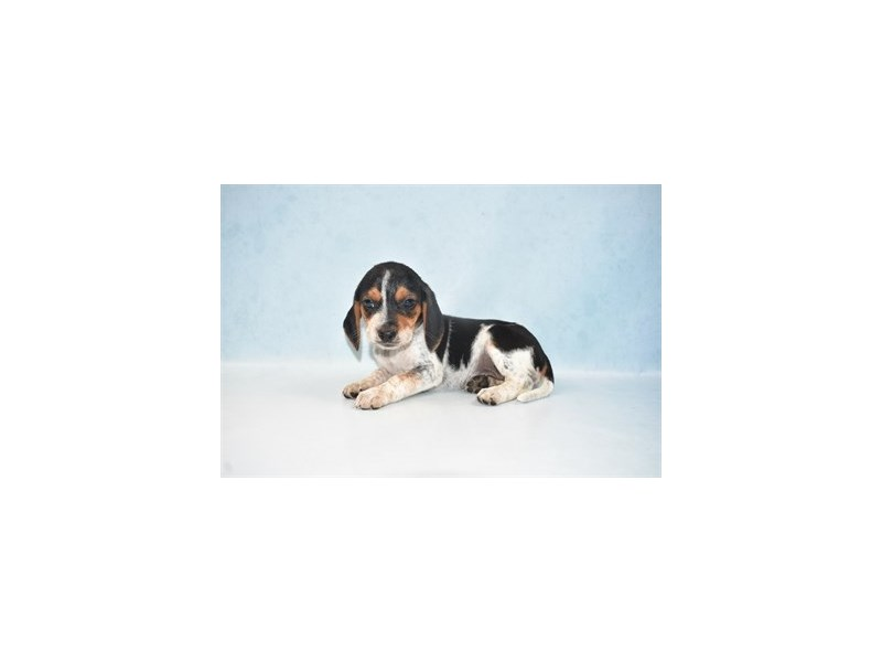 Beagle-Female-Black Tan and Blue Ticked-2694325-Petland Jacksonville Florida