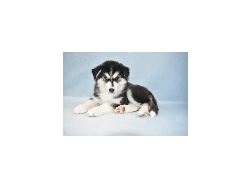 Siberian Husky-Male-Black and White-2694360-Petland Jacksonville Florida