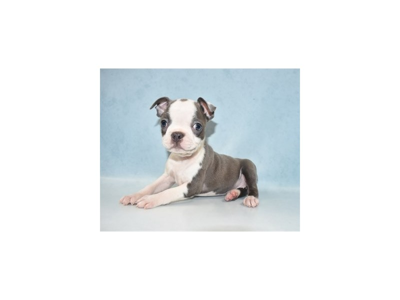 Boston Terrier-Female-Blue and White-2694363-Petland Jacksonville Florida