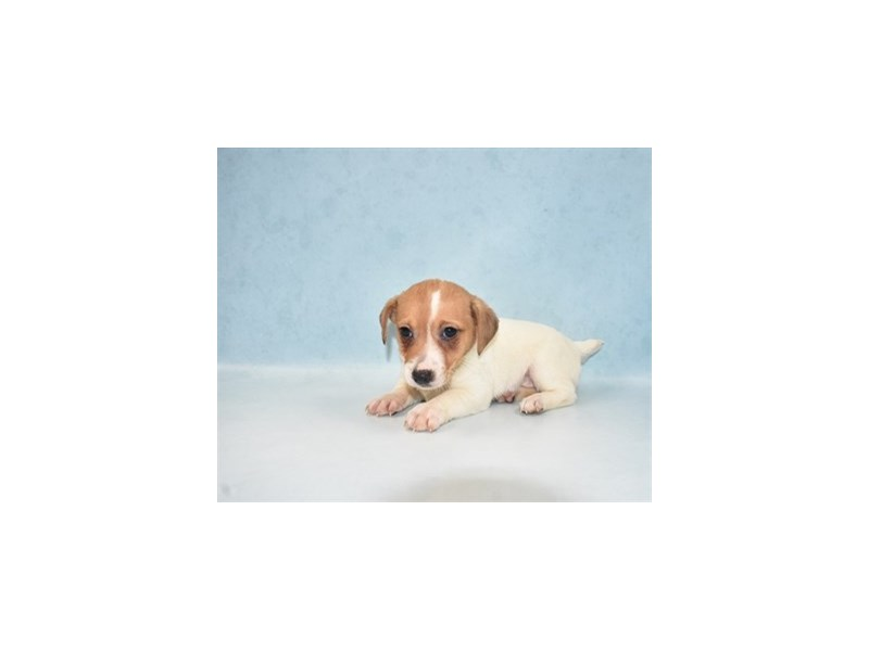 Jack Russell Terrier-Female-White and Red-2700190-Petland Jacksonville Florida
