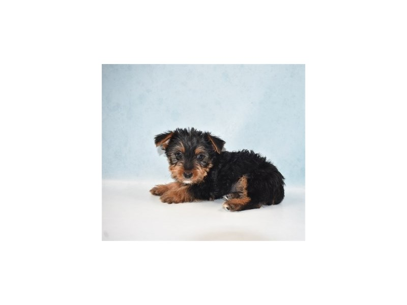 Yorkshire Terrier-Male-Black and Tan-2700235-Petland Jacksonville Florida
