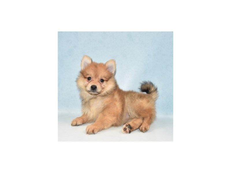 Pomeranian-Female-Orange Sable-2707045-Petland Jacksonville Florida
