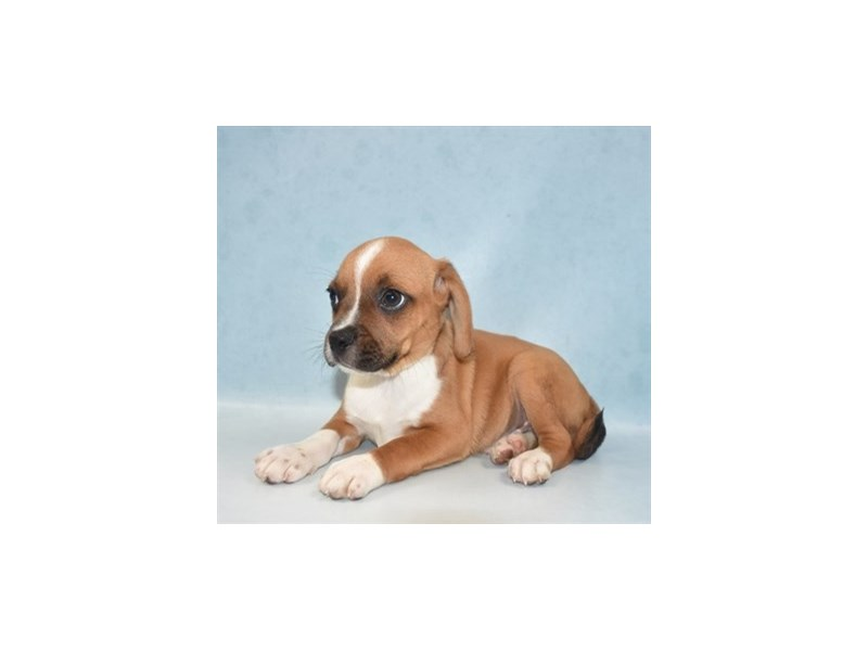 Puggle-Male-Red and White-2707058-Petland Jacksonville Florida