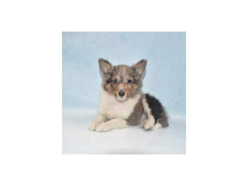 Shetland Sheepdog-Male-Blue Merle White and Tan-2713567-Petland Jacksonville Florida