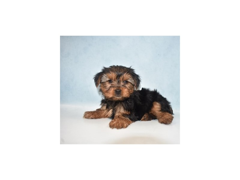 Yorkshire Terrier-Male-Black and Gold-2713591-Petland Jacksonville Florida