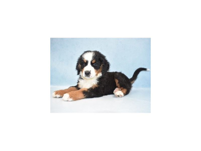 Bernese Mountain Dog-Male-Black Rust and White-2713645-Petland Jacksonville Florida