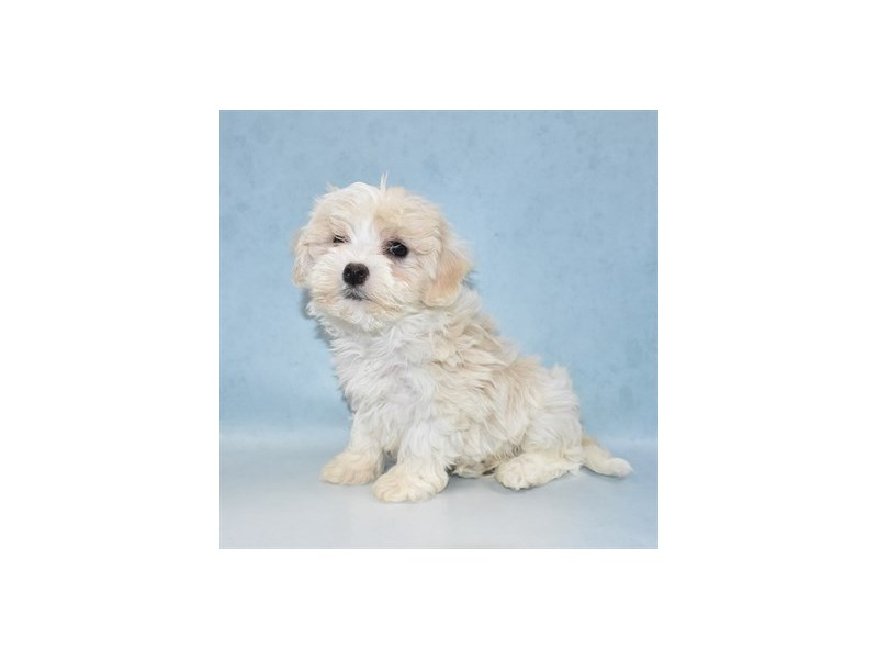 Yorkiepoo-Female-Cream and White-2713663-Petland Jacksonville Florida