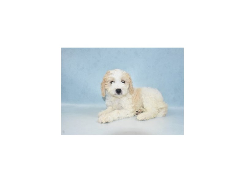 Cavachon-Male-White and Apricot-2713682-Petland Jacksonville Florida