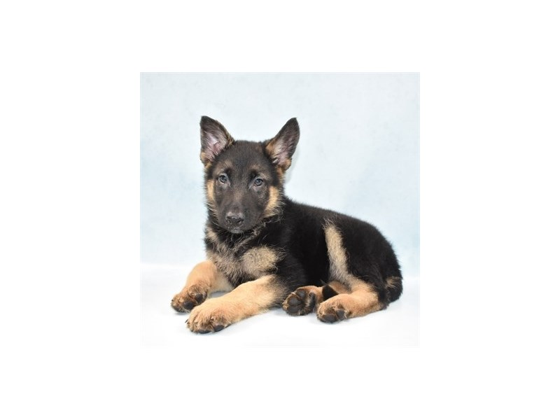 German Shepherd-Female-Black and Tan-2721387-Petland Jacksonville Florida