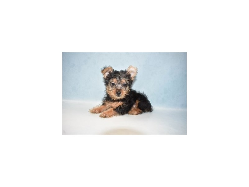 Silky Terrier-Female-Black and Tan-2727324-Petland Jacksonville Florida