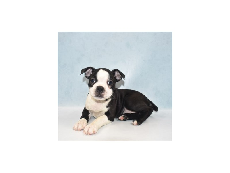 Boston Terrier-Female-Black and White-2727385-Petland Jacksonville Florida
