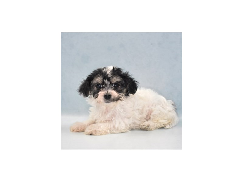 Havanese-Female-Black and Tan-2735892-Petland Jacksonville Florida