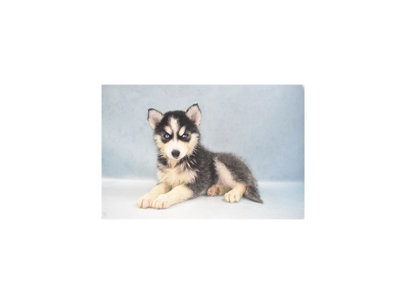 Siberian Husky-Female-Black and White-2735973-Petland Jacksonville Florida
