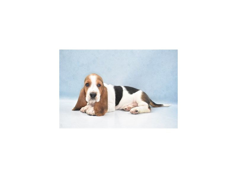 Basset Hound-Female-Black Tan and White-2743051-Petland Jacksonville Florida