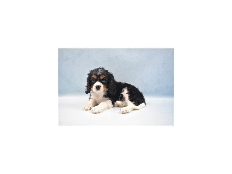 Cavalier King Charles Spaniel-Male-Black and Tan-2750364-Petland Jacksonville Florida