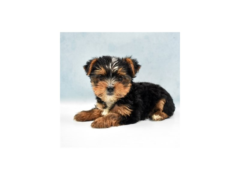 Yorkshire Terrier-Female-Black and Gold-2750390-Petland Jacksonville Florida