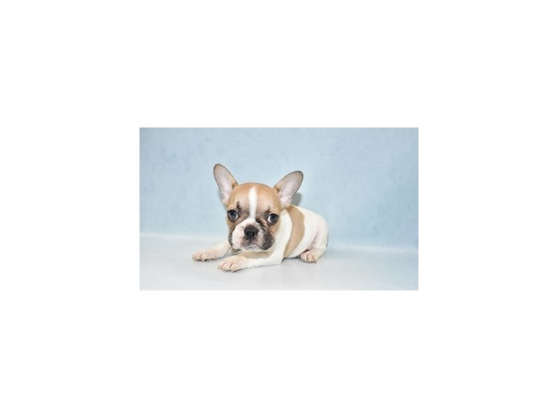 French Bulldog-DOG-Male-Fawn and White-2721430-Petland Jacksonville Florida