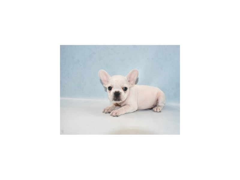 French Bulldog-Male-Cream-2727334-Petland Jacksonville Florida