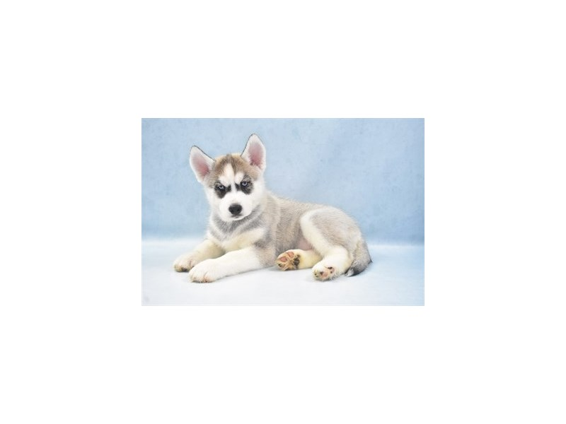 Siberian Husky-Female-Grey and White-2743100-Petland Jacksonville Florida