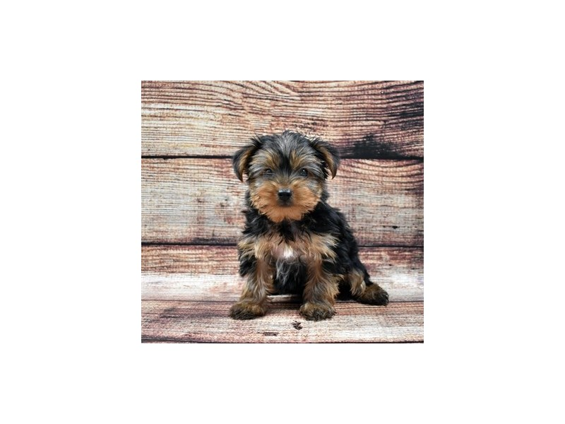 Yorkshire Terrier-Male-Black and Tan-2757763-Petland Jacksonville Florida