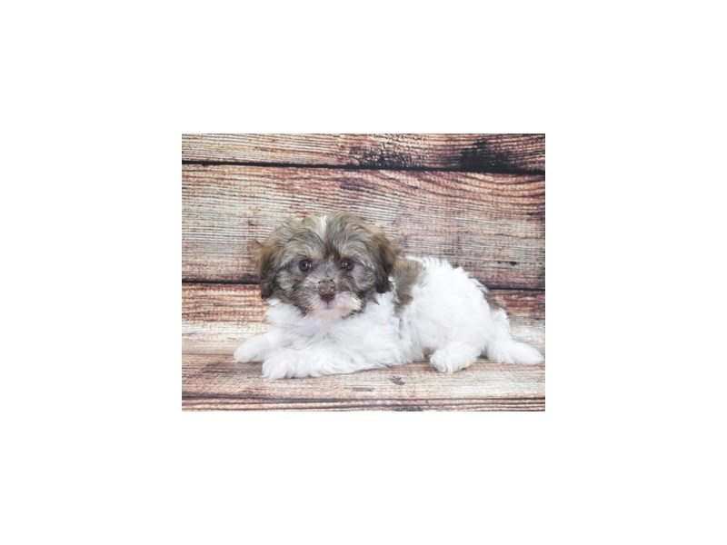 Havanese-DOG-Female-Chocolate Sable-2765483-Petland Jacksonville Florida
