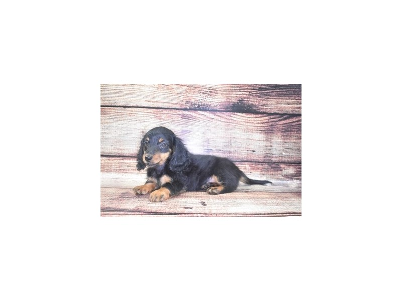 Dachshund-Male-Black and Tan-2765500-Petland Jacksonville Florida