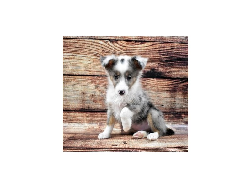 Shetland Sheepdog-DOG-Male-Blue Merle White and Tan-2757837-Petland Jacksonville Florida