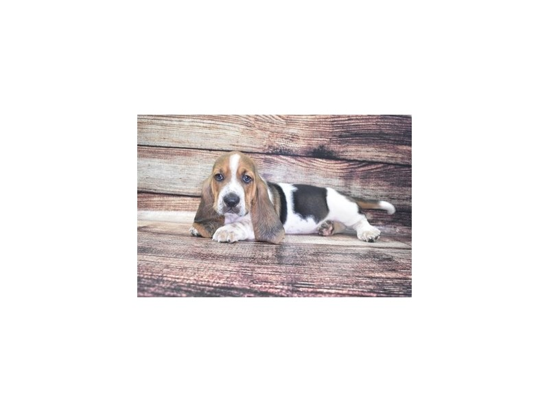 Basset Hound-Male-Black White and Tan-2765429-Petland Jacksonville Florida
