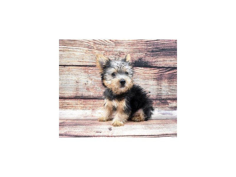 Silky Terrier-Male-Black and Tan-2788421-Petland Jacksonville Florida