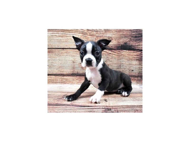 Boston Terrier-Female-Black and White-2795762-Petland Jacksonville Florida