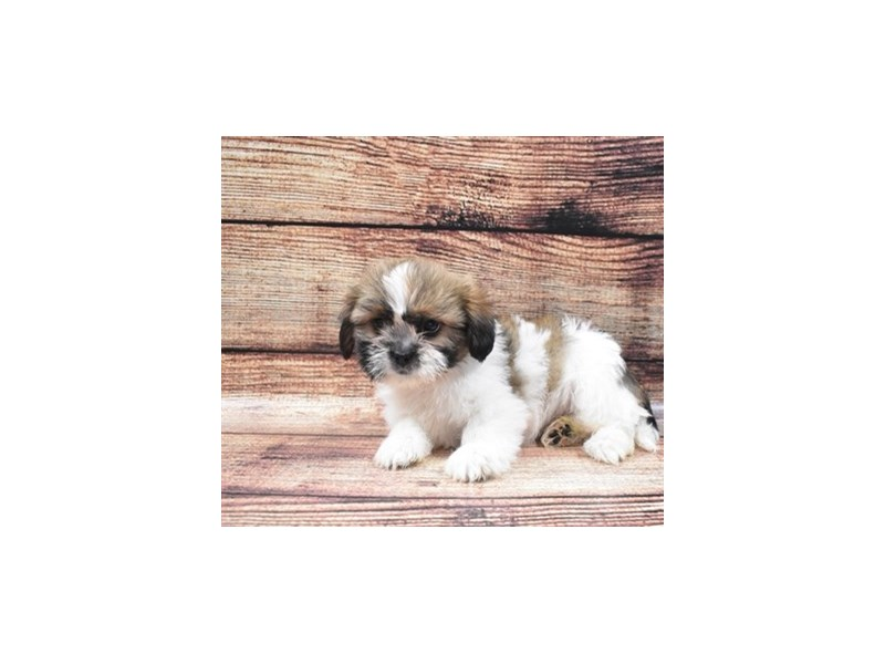 Shih Tzu-DOG-Female-Gold and White-2818339-Petland Jacksonville Florida