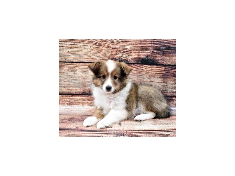 Shetland Sheepdog-Female-Sable and White-2788457-Petland Jacksonville Florida
